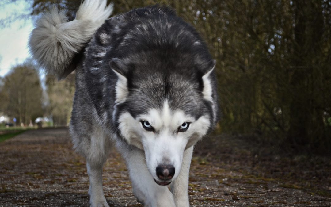 Hunting Wolves in Wisconsin
